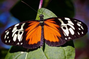 The Tiger Longwing is just one of nearly one thousand butterfly species at Sertoma.