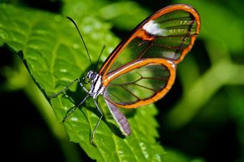 This Glasswing is native to Central and South America.