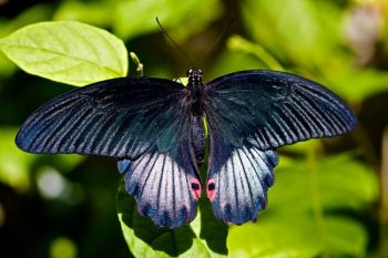 A black swallowtail soaking up the sun.