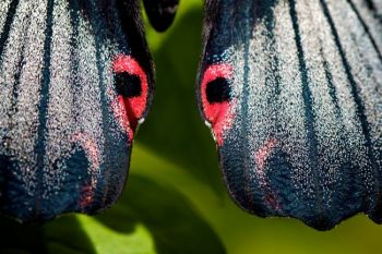 The colorful spots on its wings mimic eyes to scare off predators.