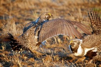 Their squabbles were rather like a slap fight — the grouse flapped their wings in each other's faces.