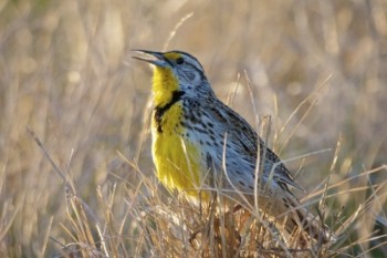 A meadowlark greets the morning light with song.