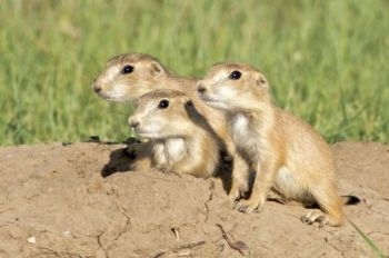 Prairie dog pups peer out from their home — the dog town located on the park's border with Wind Cave National Park.