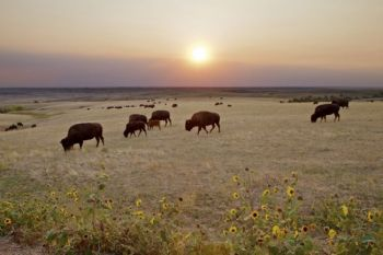 Buffalo graze below a September sunset in the Sage Creek Wilderness area of <a href='http://www.nps.gov/badl/index.htm' target='_blank'>Badlands National Park</a>.