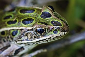 This leopard frog permitted an up-close and personal portrait.
