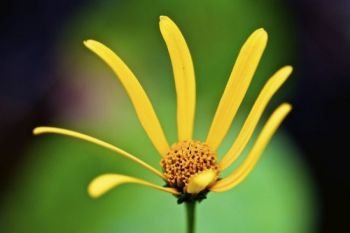 A yellow coneflower in the woods.