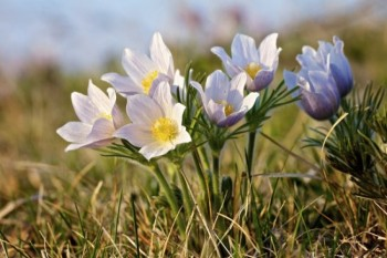 A cluster of pasqueflowers in McCook County.