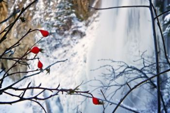 Rose hips are natural holiday decorations at Spearfish Falls.