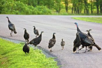 A family of wild turkeys greeted me on the park roads just after sunup on a recent visit.