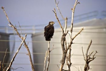 An immature eagle perches just below Fort Randall Dam's powerhouse.