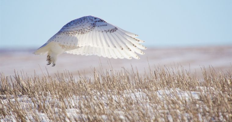 Winter explorers may spot another visitor to the Glacial Lakes region — snowy owls, which are native to the Arctic. Photo by Christian Begeman