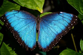 An iridescent Blue Morpho butterfly.