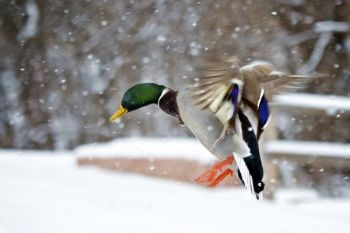 Coming in for a landing! This Mallard Duck doesn't mind the snow at the Outdoor Campus.