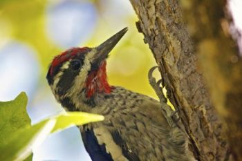 Grace Coolidge Creek is the home of this Red-naped Sapsucker.
