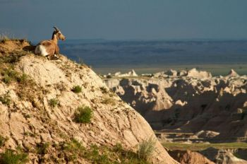 A bighorn ewe looks out over the Badlands Northern Unit.