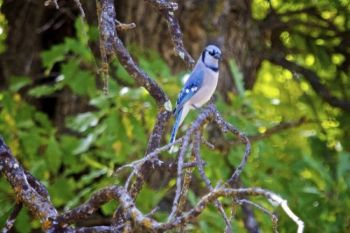 A blue jay on the wildlife loop.