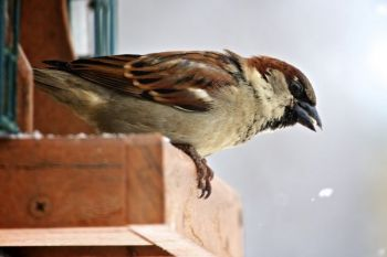 The Outdoor Campus is home to other birds as well. Here's a male House Sparrow.