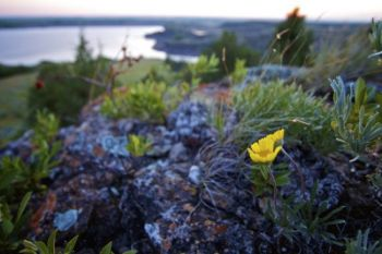 Wildflower, rocks and cedar trees above the dam at dawn.