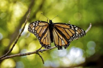 A battered and faded female Monarch butterfly resting on a tree branch in the creek bottom.