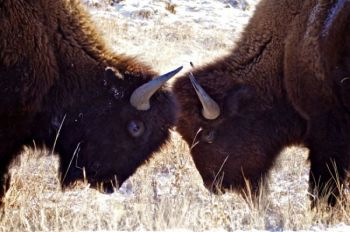 Young bison playfully butt heads.