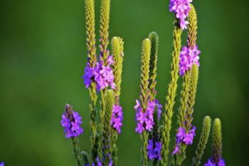 Flowering vervain in the hills above Snake Creek.