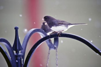 A male Dark-Eyed Junco.