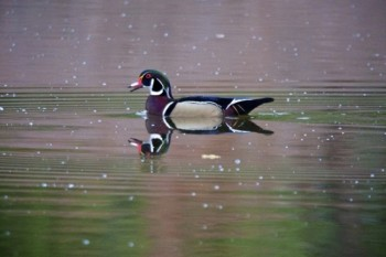 Wood duck on Mud Lake.