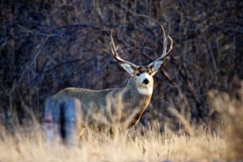 A nice buck emerged from trees flanking the Bad River about a half hour before sunset in late November.