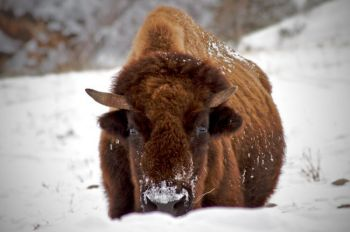 A bison cow near Highway 87 in Wind Cave Park's southern portion.
