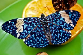 A King Cracker butterfly dining on orange juice.