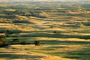 Buffalo dot the rolling hills of the Sage Creek Wilderness on a golden summer evening.