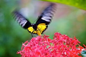 A yellow bodied butterfly dining on red flowers.