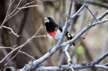 This Red-breasted grosbeak watches from his twiggy vantage point.