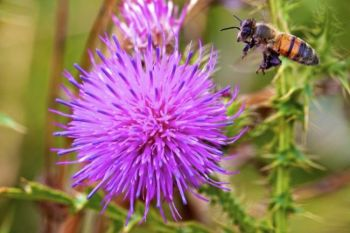 A honey bee comes in for a landing on a thistle flower.