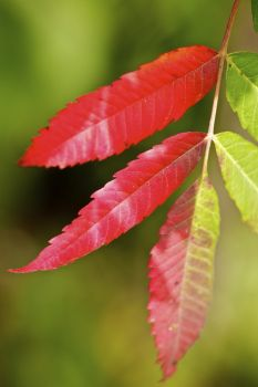Sumac leaves are beginning to turn red along the edges of the wooded hillsides.