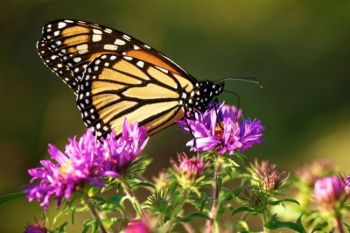 A Monarch dining on an late summer wildflower.