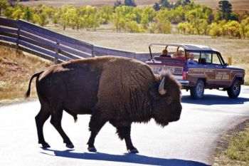 Watch out for bison on the wildlife loop! This big fellow was crossing near the buffalo corrals.
