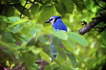 A bright Blue Jay peeks out from the leaves.