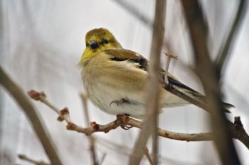 A female Goldfinch, balancing in the breeze and singing away despite winter's chill.