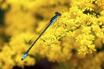 A damselfly perches on a goldenrod flower.