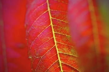 Detail of a backlit sumac leaf.