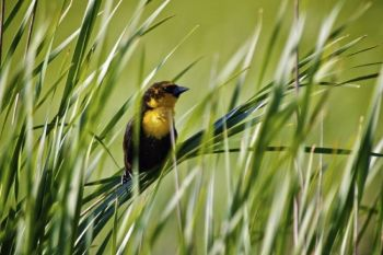 This yellow headed blackbird is a denizen of Kettle Lake, adjacent to Fort Sisseton State Park.