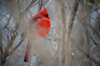 He's not fat from too many trips to the bird feeder — cardinals and other birds fluff up their feathers to keep warm.