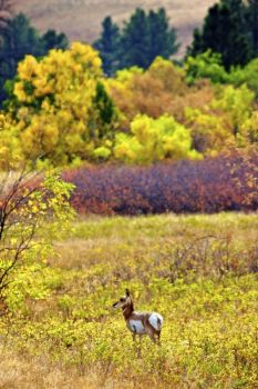A lone pronghorn poses against a brilliant fall backdrop.