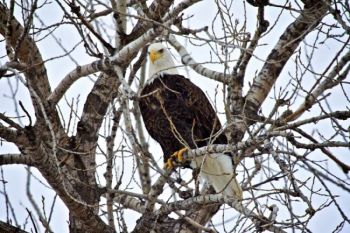 A Bald Eagle perched in Yankton's Riverside Park. Click to enlarge photos.