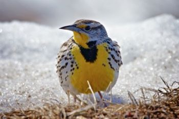 A meadowlark by the side of a Moody County road on April 13, 2013. Click to enlarge photos.