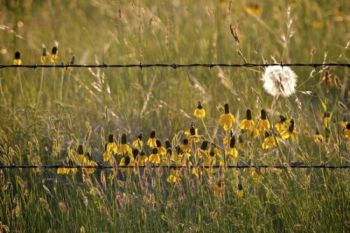 Prairie coneflowers along a barbed wire fence. Click to enlarge photos.