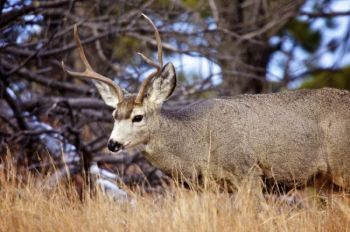 A young mule deer buck grazing along NPS Road 5. Click to enlarge photos.