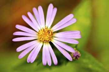 This aromatic aster grows along the Aspen Spring trail.
