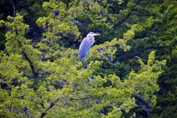 A Great Blue Heron rests in a tree overlooking Lake Alvin's southern shore.